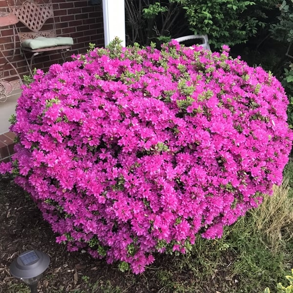 The Lifespan Of 20 Common Shrubs Wizard Of Yards